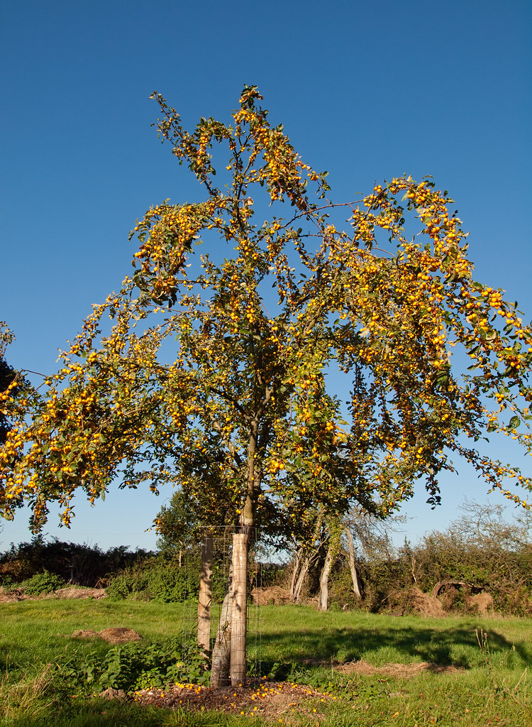 A Golden Hornet crab apple tree in the Community Orchard o… Flickr