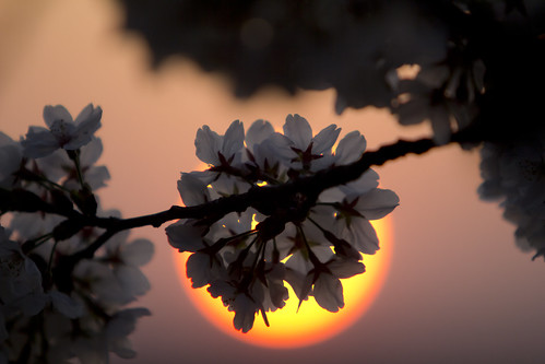 2012 03 17 - 5236 - Washington DC - Cherry Blossoms | by thisisbossi