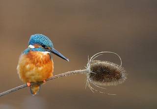 Kingfisher | by naturenev