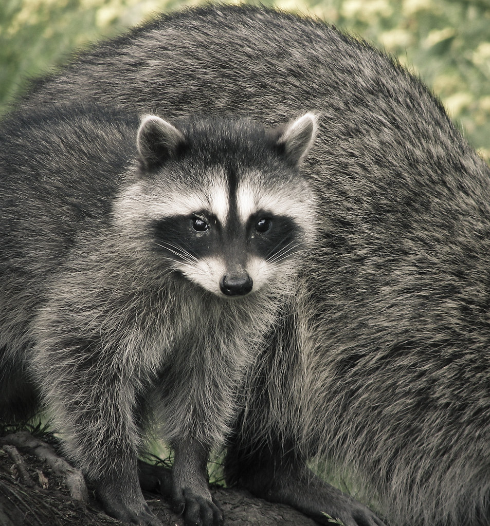 free hq baby raccoon - photo #43