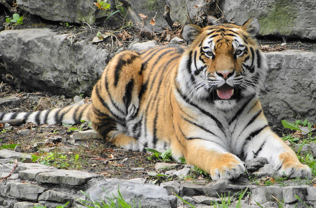 Amur Tiger at Buffalo ...