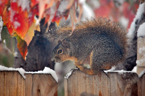 Cold Squirrel | by pam's pics-