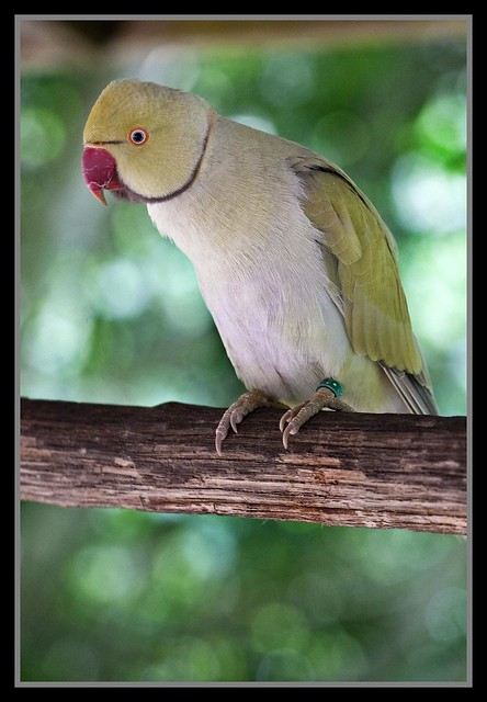 Indian Ringneck Parrot-1= | Flickr - Photo Sharing!