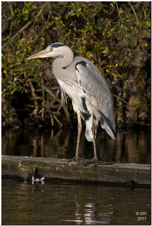 Heron at Etherow | by Maria-H