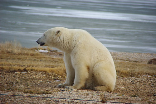 Polar Bear Sitting | by Martin Lopatka