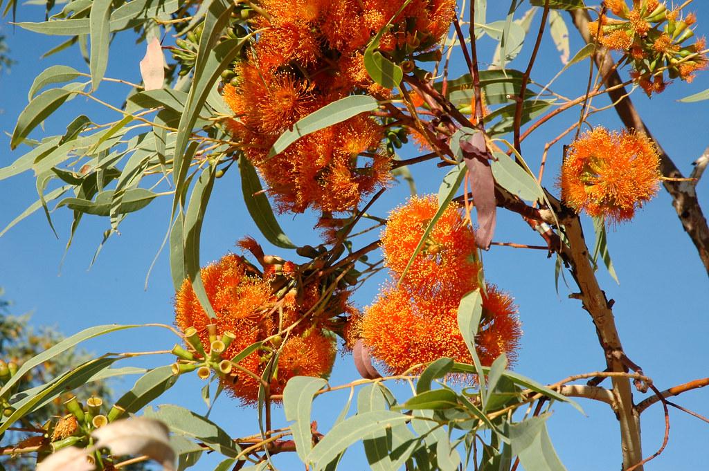 Eucalyptus phoenicea Eucalyptus phoenicea Scarlet Gum or Fiery Gum Flickr