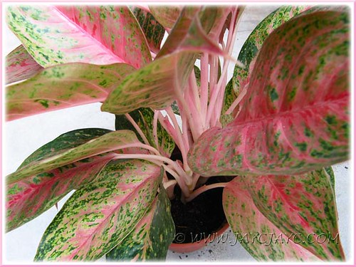 Our Aglaonema Cv Legacy With Attractive Pink Green Varieg