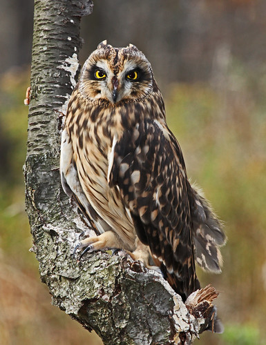 Short-eared Owl | by JKissnHug - Getting Back to Birding & Photography