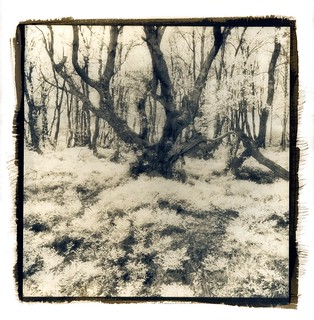 Downy Birch, Cyanotype over Vandyke | by Wolfgang Moersch