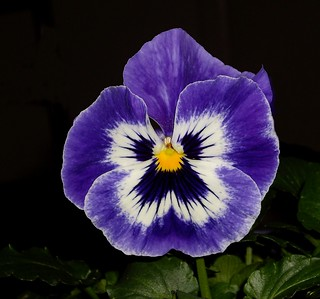 Beautiful Pansy | by KoolPix