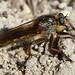 Mosca da família Asilidae // Asilid or 'Robber Fly' (Machimus sp.)