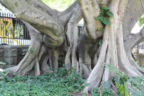 IMG_1882 Tree Roots.'Ficus Microcarpa' Planted 1874 (also known as Indian Laurel) | by ppaulinesm