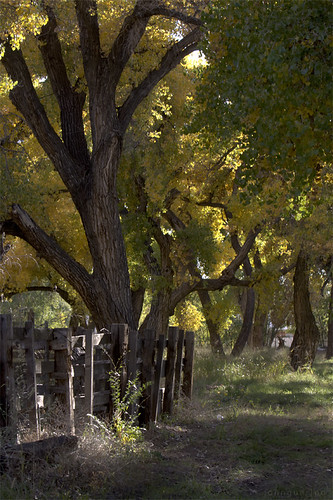 fence cottonwoods and dappled light | by johngpt