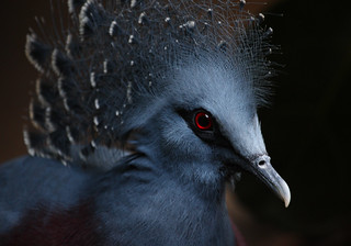 Victoria Crowned Pigeon | by ashockenberry