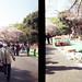 Hanami, Ueno Park, Tokyo, Japan. 花見,上野公園