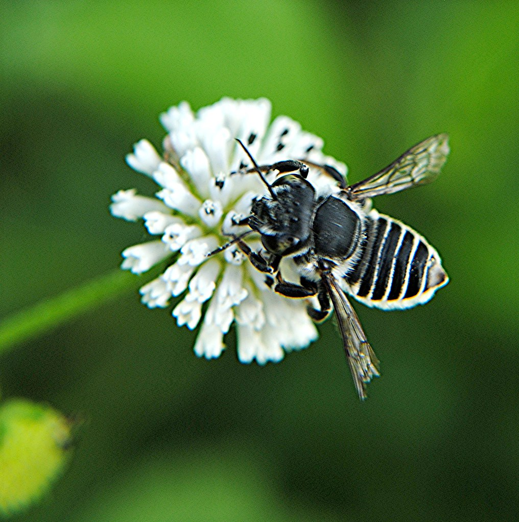 Black And White Striped Leafcutter Bee On White Alligator