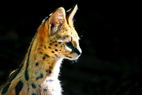 Serval | by pattoise
