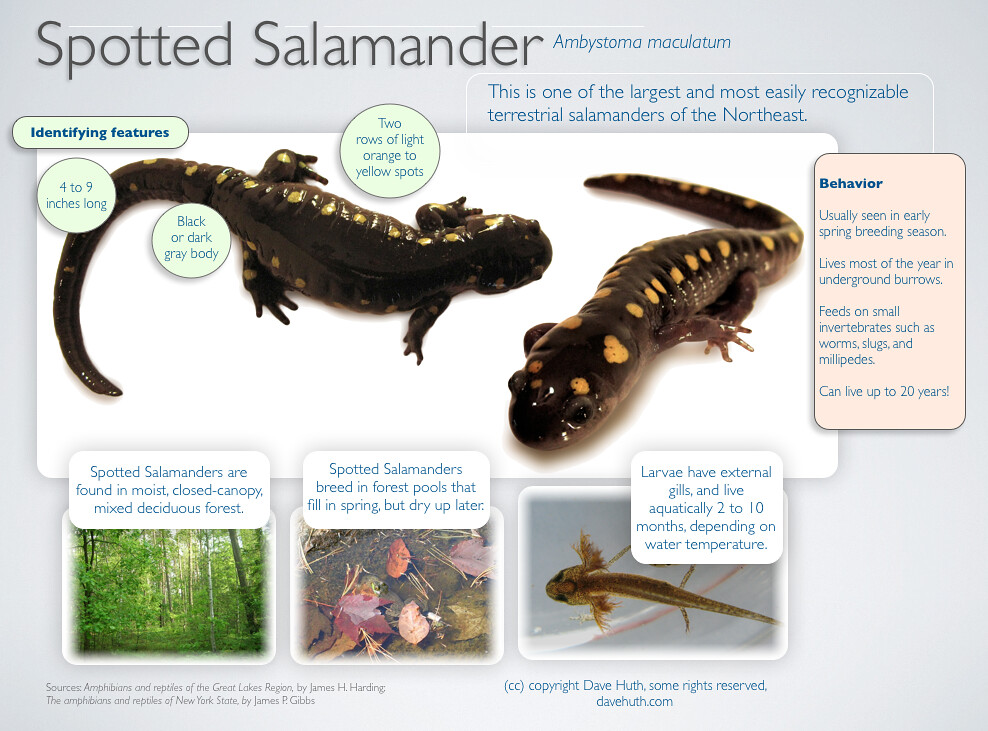 an introduction to the salamander Batrachochytrium salamandrivorans (bsal): an emerging disease of salamanders to: the us has the largest diversity of salamanders in the world and introduction of bsal to probability of introduction is highest and on salamander species that are most susceptible to the disease.