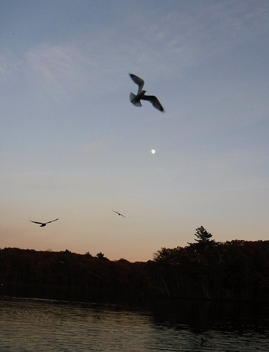 Gull moon | by lightloverLori