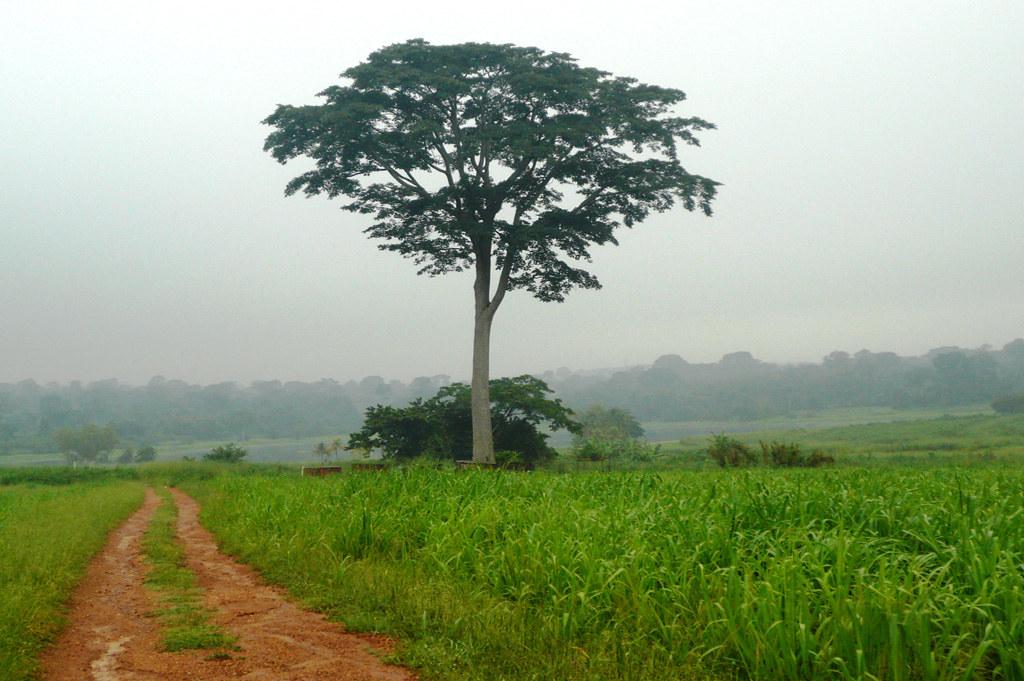 Un arbre Iroko