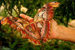 Atlas Moth | by rubengarciajrphotography