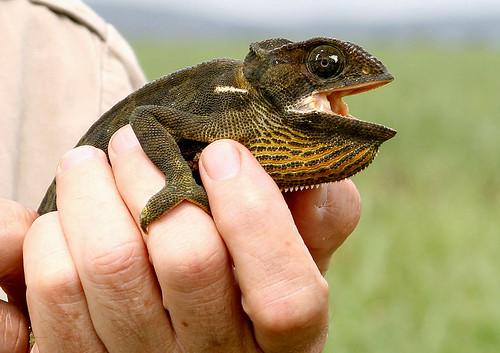 flapnecked chameleon chamaeleo dilepsis  found near