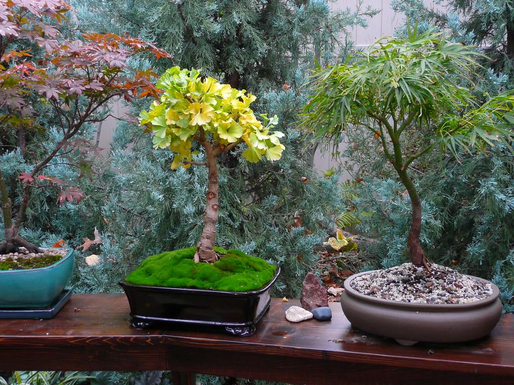 ginkgo biloba 39 mariken 39 bonsai ginkgo biloba 39 mariken. Black Bedroom Furniture Sets. Home Design Ideas