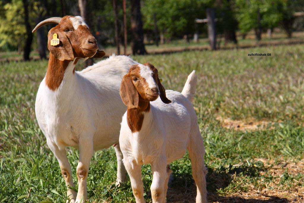 Image Result For Manfaat Daging Kambing Untuk Tubuh