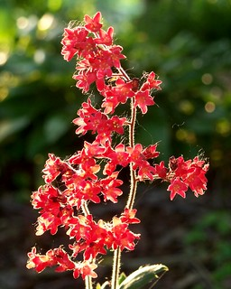 Coral Bells | by annahesser