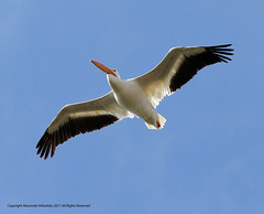Pelican, American White (Pelecanus erythrorhynchos)