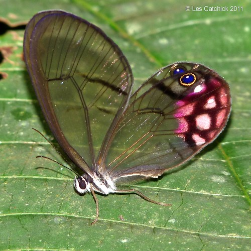 Butterfly (Cithaerias pyropina, Common name: Pink-tipped Satyr) | by LPJC
