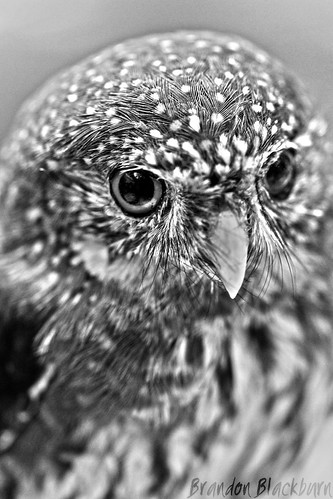 UCSC Natural History Museum, Owl | by Brandon Blackburn