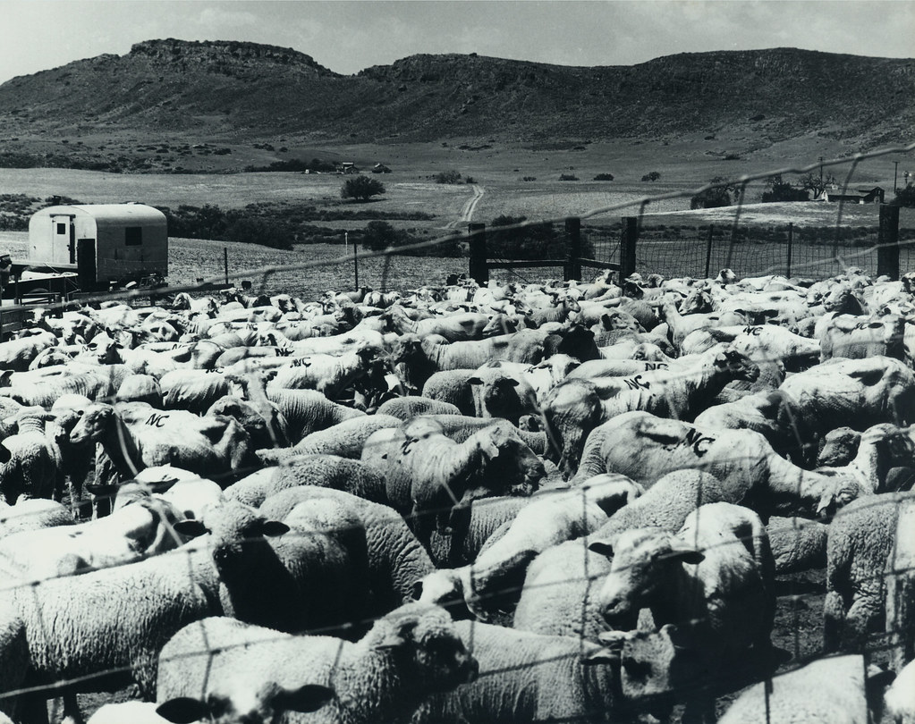 Shearing Sheep on Lynn Road | Sheep in pen waiting for ...