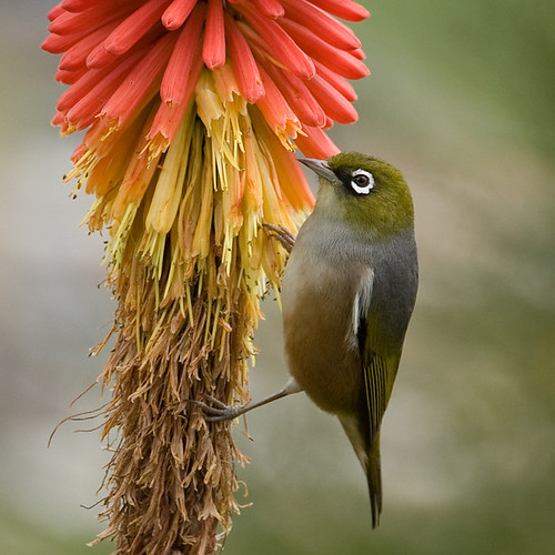 Waxeye on red hot poker | by Ian@NZFlickr