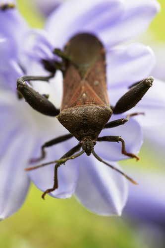 chinche cafe/ stink bug | by Marc Javelly https://www.facebook.com/Photographym