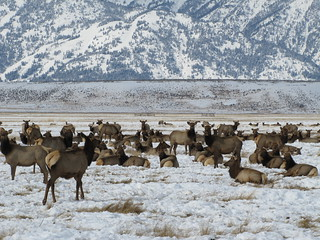 Jackson Elk Herd | by USFWS Mountain Prairie