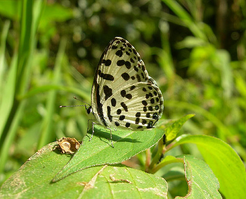 Common Pierrot | by nickupton1