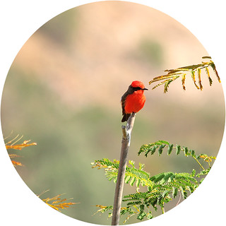Vermilion Flycatcher | by Geninne
