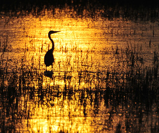 Heron, Pego Marshes, Spain. | by Mark Rivers Photography