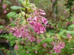 Pink Petals by Walker Livingston