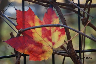 Leaf with Grapevine | by LoriMoonStudio