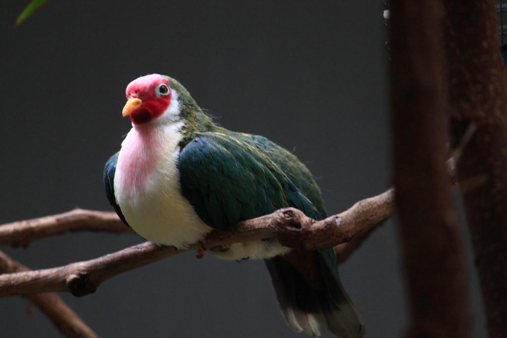 jambu fruit dove flying - photo #26
