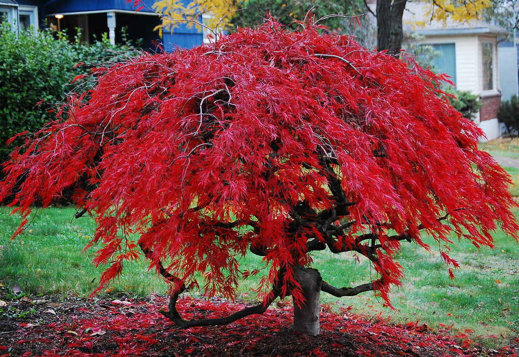 Japanese Maple I Took This Picture Prior To The Storm