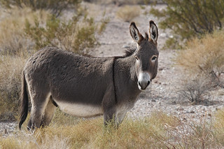 Male Wild Burro (Equus assinus)....2 of 3 in set | by Alan Vernon.