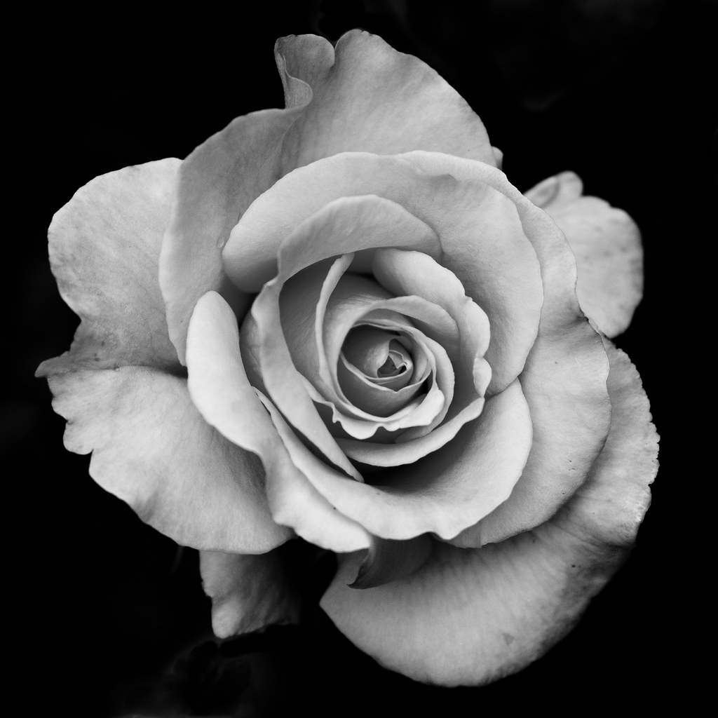 rose study 2 | Playing around with some roses in the ...