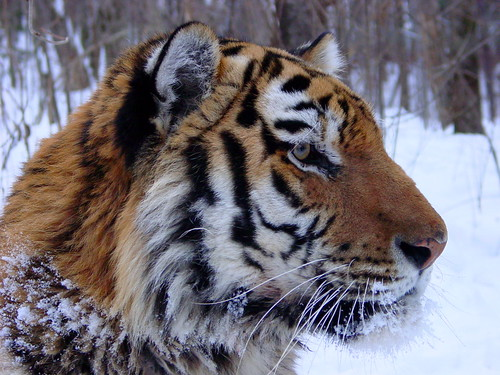 Tiger Amur | by USFWS Headquarters