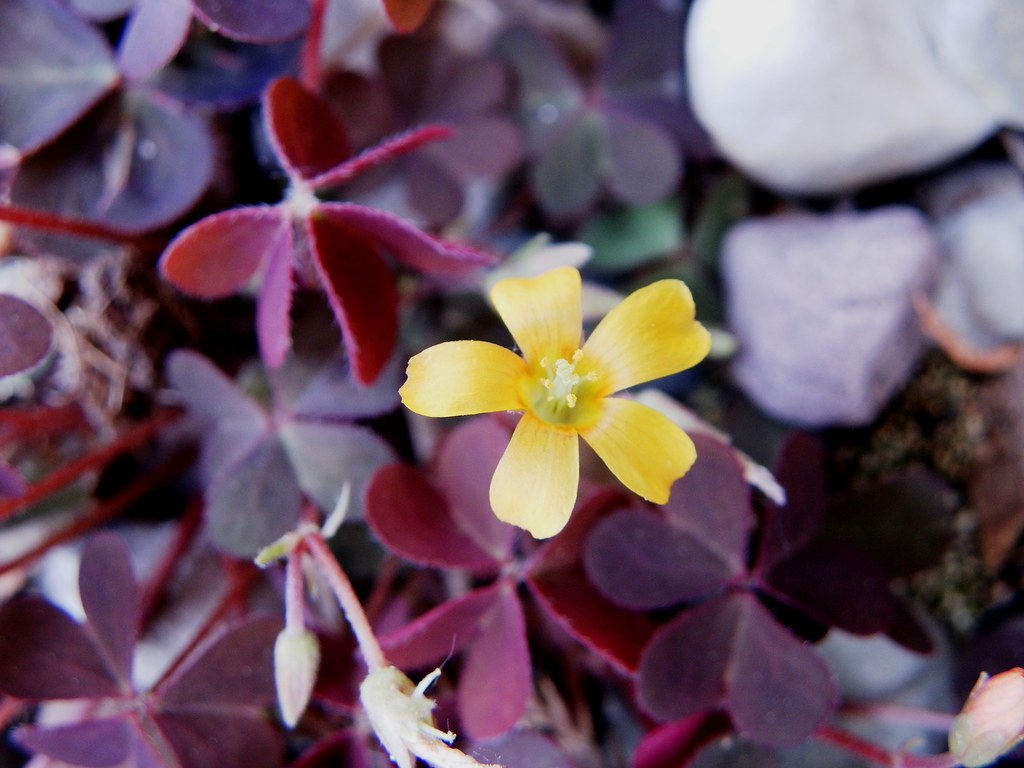 Little Yellow Petals With Purple Clover Like Leaves Flickr