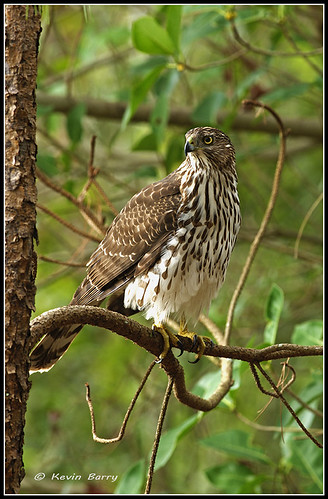 Immature Cooper's Hawk | by Kevin B Photo