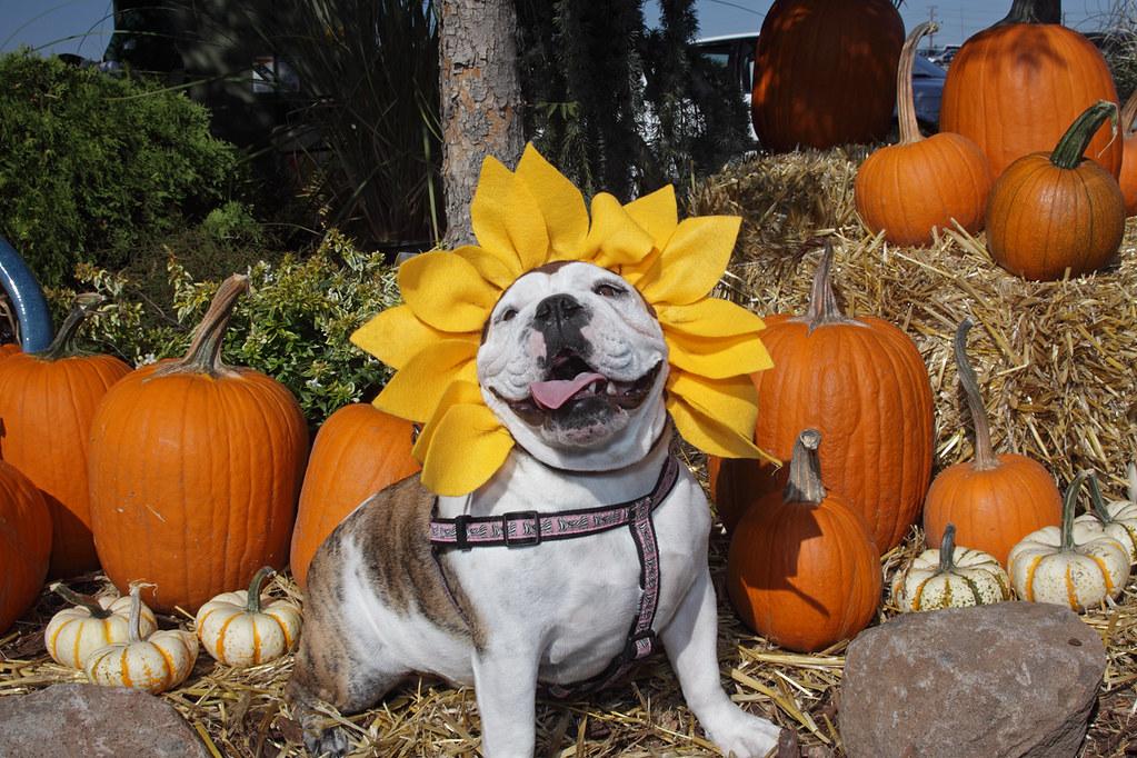 & 6 Safe Pet Halloween Costumes for Your Dog   Teleflora Blog