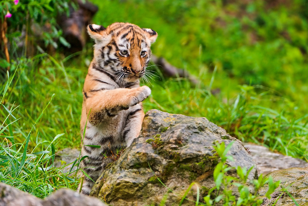 Funny cub | This is Lailek, the only boy of the three ...